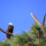 the glorious bald eagle!