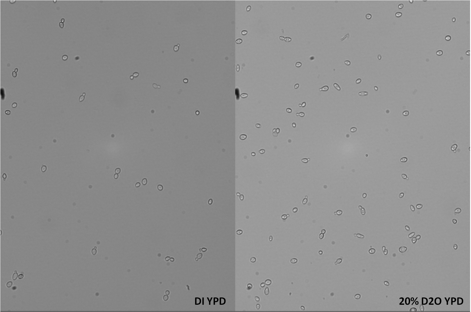 WT yeast compared to yeast grown in 20% D2O YPD from last week.