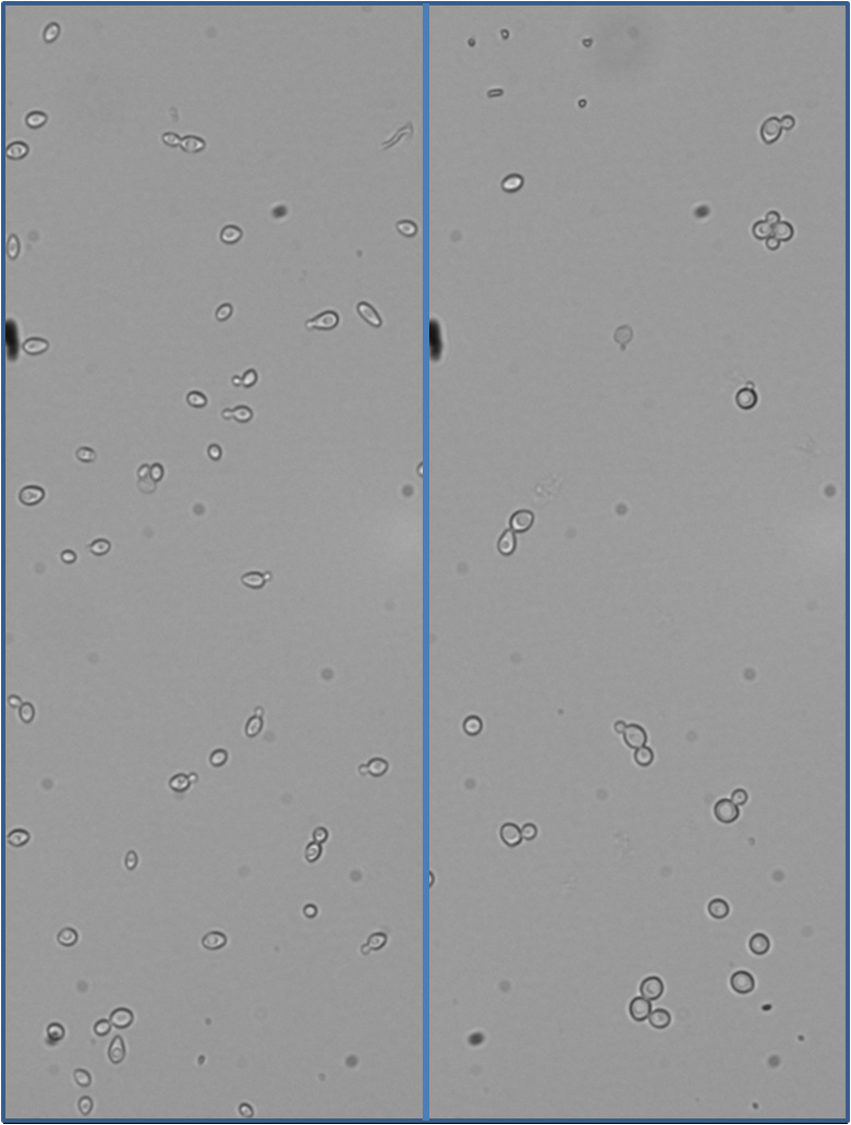 Comparison of growth in different D2O concentrations: 20% D2O on the left, 99% D2O on the right.
