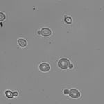 Yeast cells in 40% D2O YPD viewed at 60x.