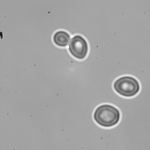 Yeast cells in 40% D2O YPD viewed at 60x (with 1.6x addition).