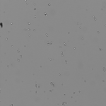 Yeast grown in 60% D2O YPD and viewed at 10x.