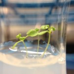 Arabidopsis in 0% D2O (DDW)