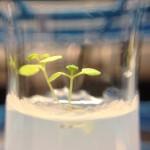 Arabidopsis in 10% D2O