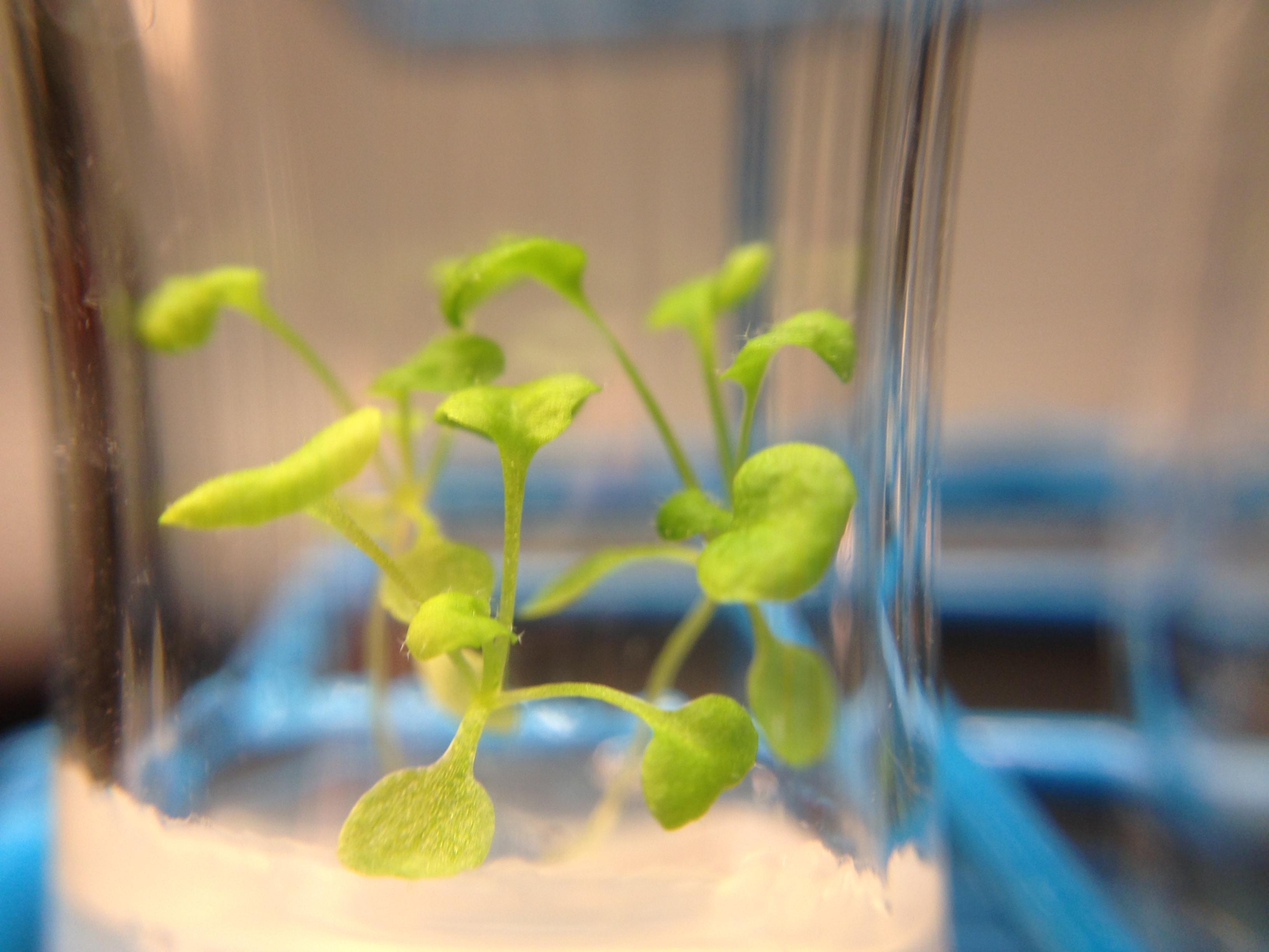 arabidopsis grown in ddw