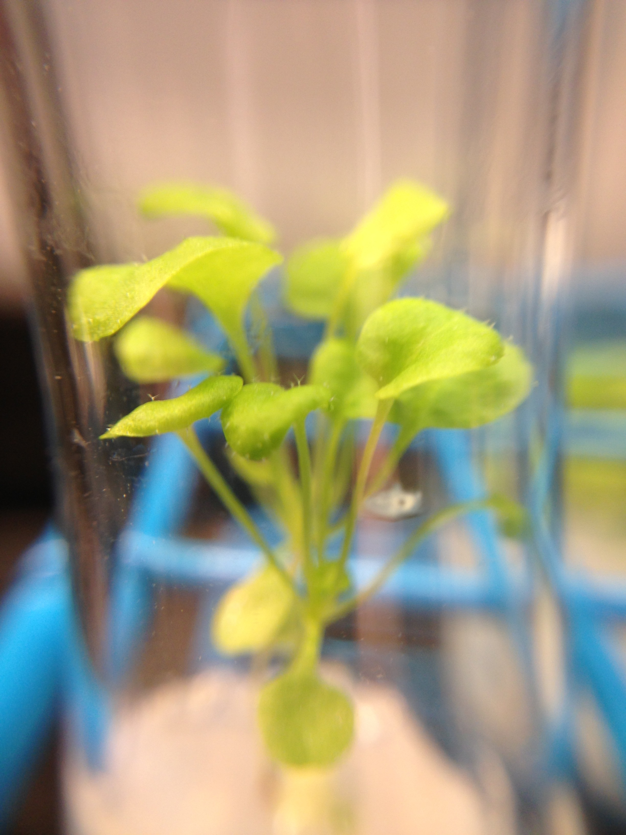 arabidopsis in 10%d2o