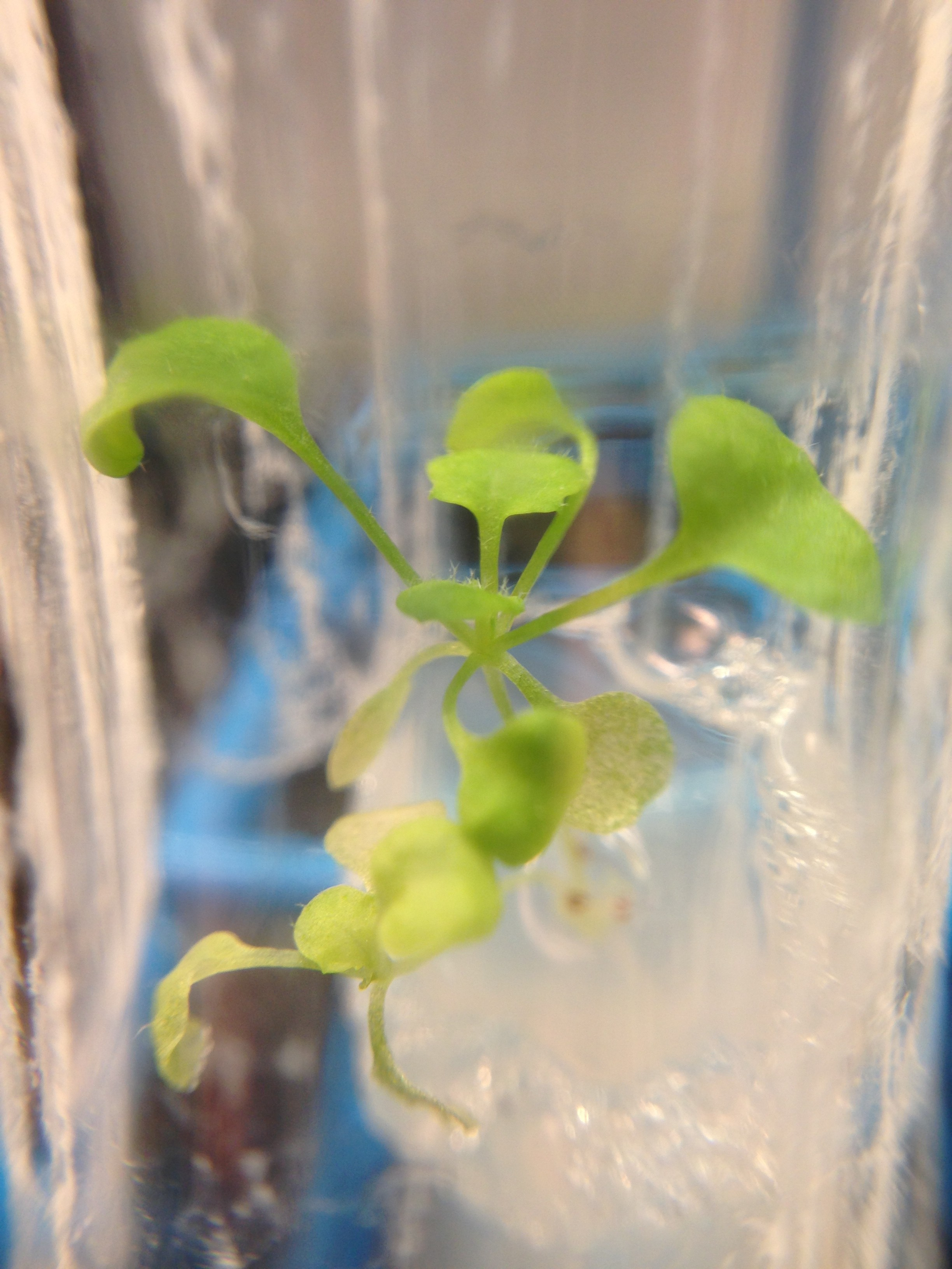 Arabidopsis grown in DDW