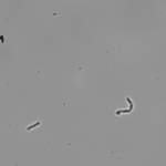 Potentially D2O adapted E coli in D2O LB