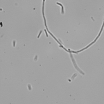 D2O adapted E. coli in DI LB